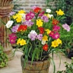 Double Freesia flower bulbs fundriasing product