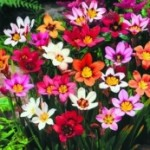 Flower Bulbs & fundraising Harlequin flowers