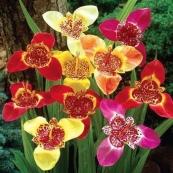 Mexican Shell Flower bulb fundraiser